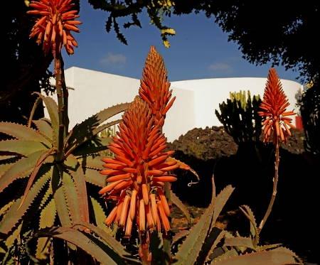 Aloe vera virág